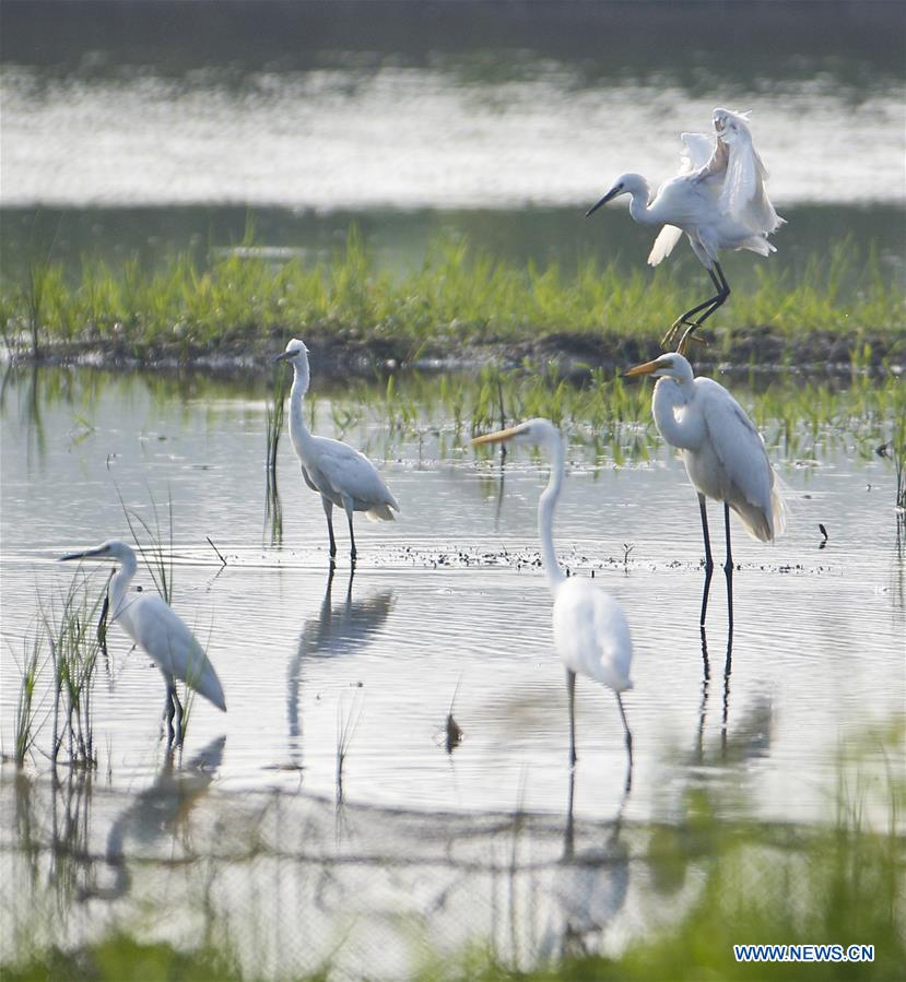 Egrets seen at wetland in E China's Jiangsu