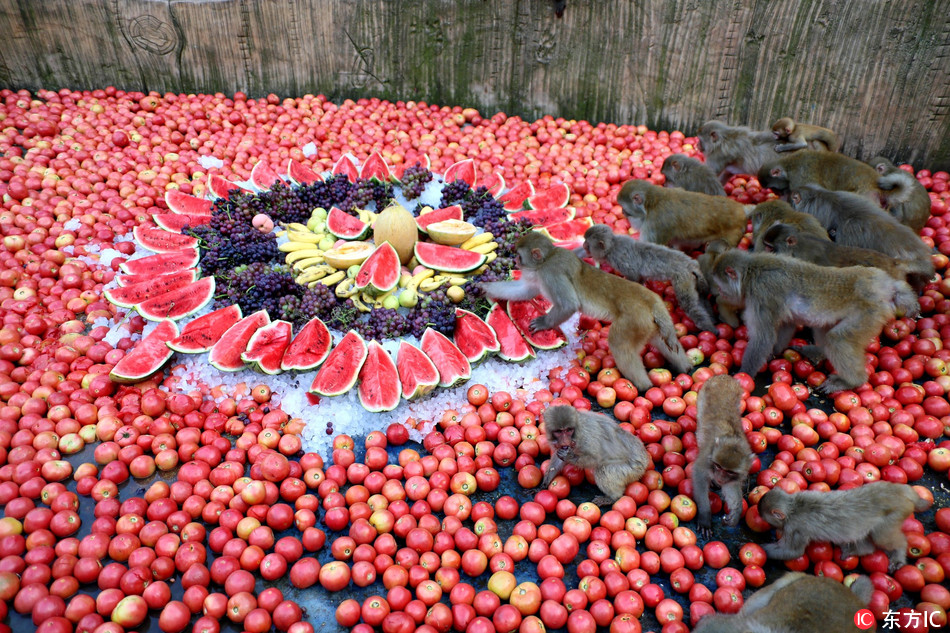 Macaques enjoy fruit feast to relieve summer heat