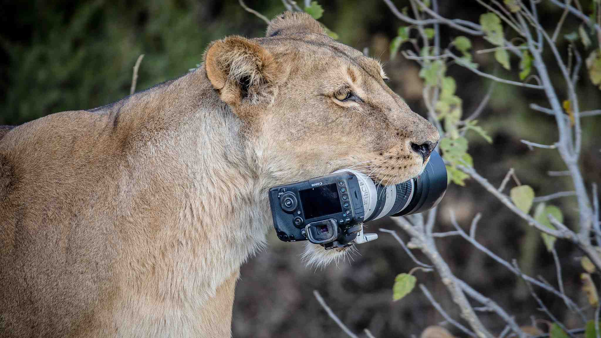 Lions turn photographer's camera into chew toy