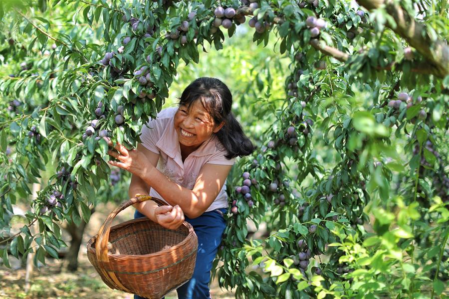 Farmers harvest plums in southwest China's Guizhou