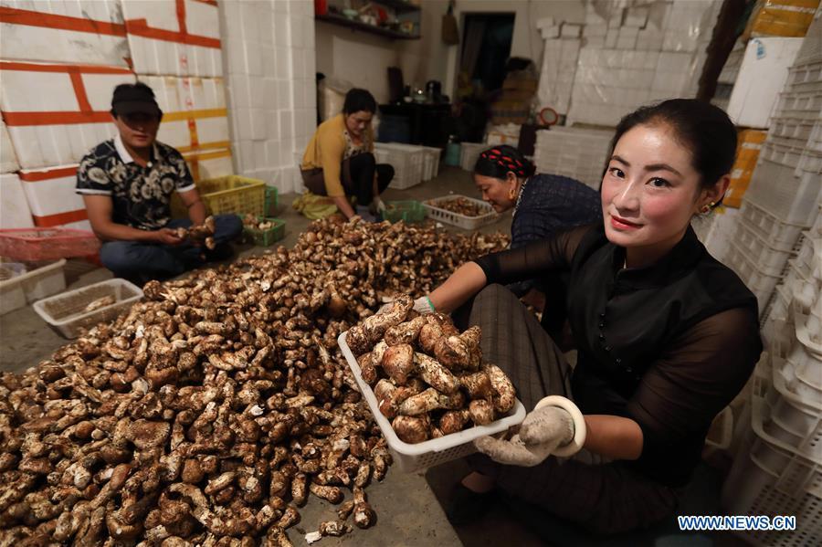 Logistics enterprises help develop matsutake farming in China's Sichuan