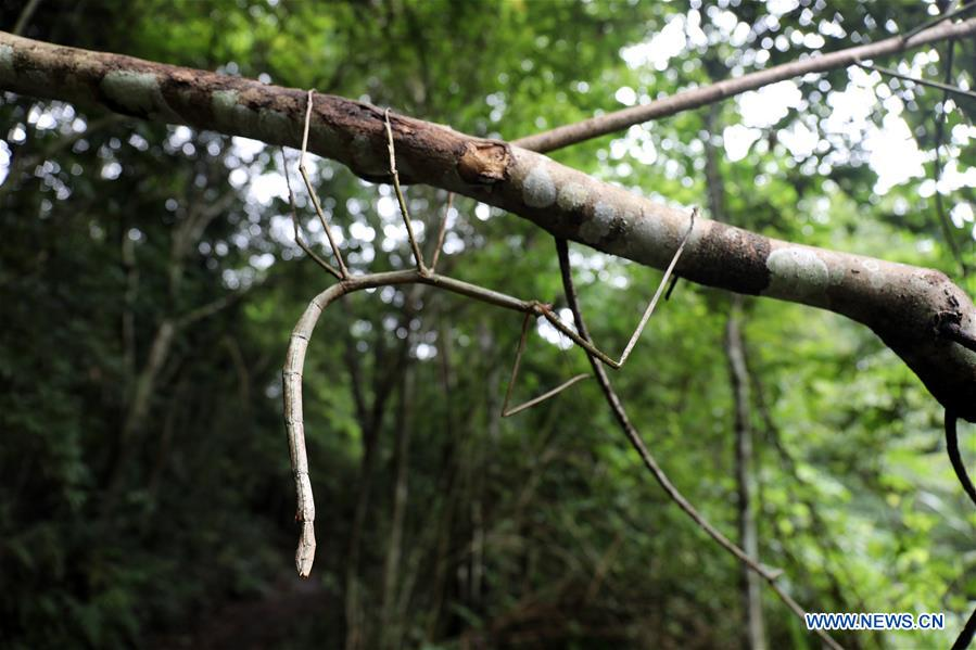 Wild stick insect seen in Dayaoshan state-level nature reserve in S China's Guangxi