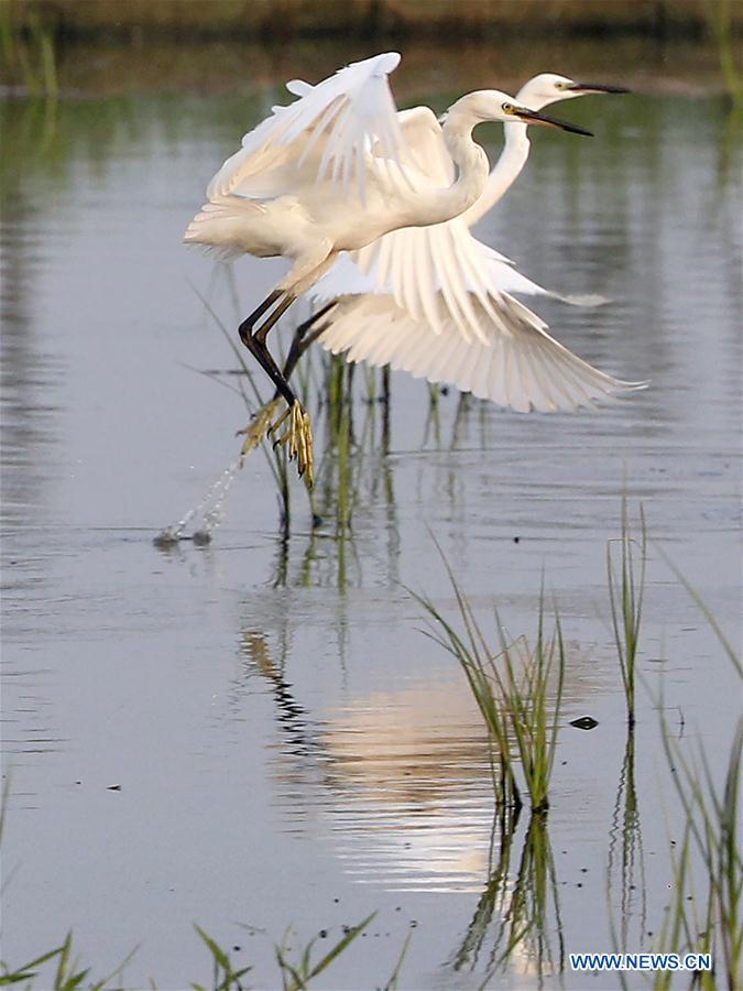 Egrets seen at wetland in Xuyi County, east China's Jiangsu
