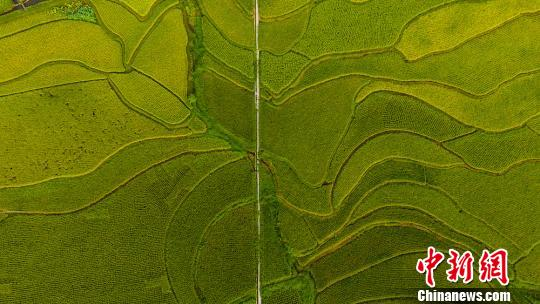 Aerial view of paddy field in SW China's Sichuan