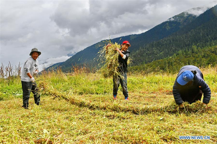 Local hersmen busy with cropping, reserving grass in SW China's Tibet