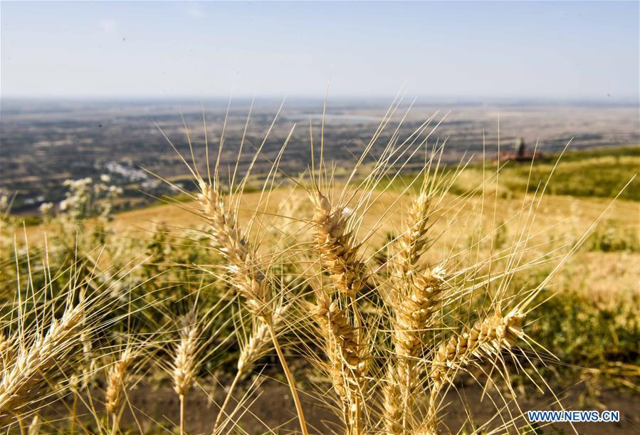 Wheat field in China's Xinjiang