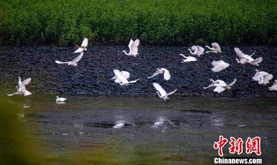 Egrets seen in E China's Jiangxi