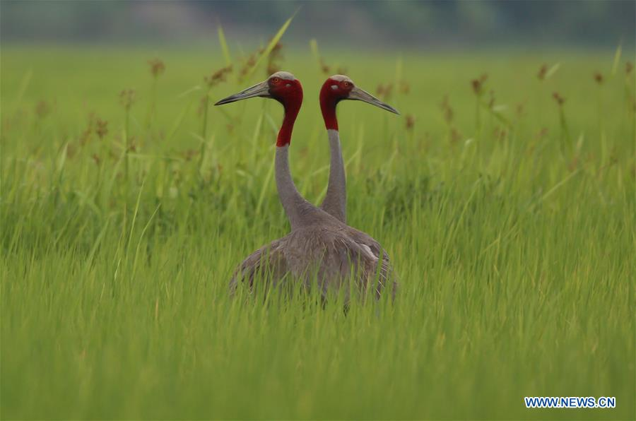 In pics: sarus cranes in Myanmar'Ayeyarwady Division