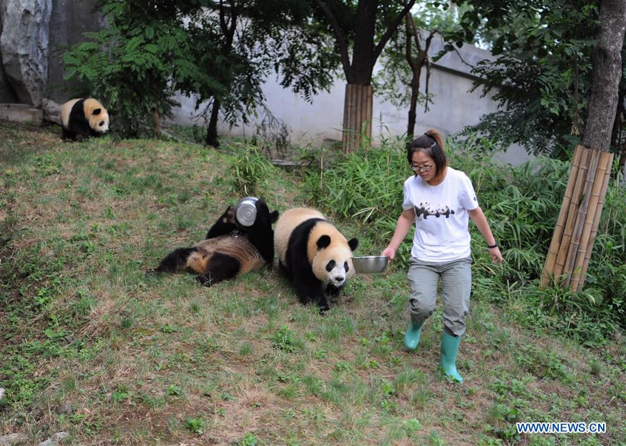 Giant panda cubs grow well in NW China's Shaanxi