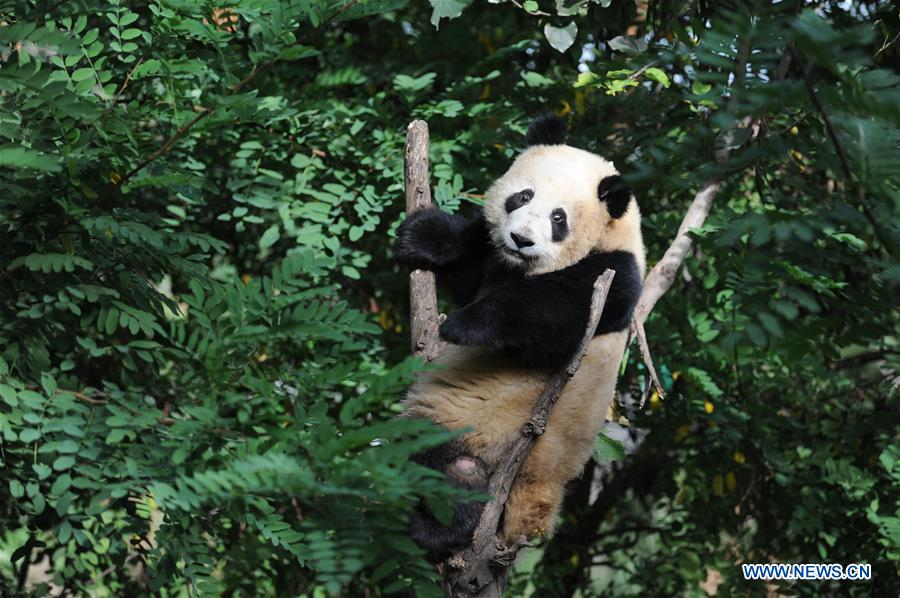 Giant panda cubs grow well in Shaanxi