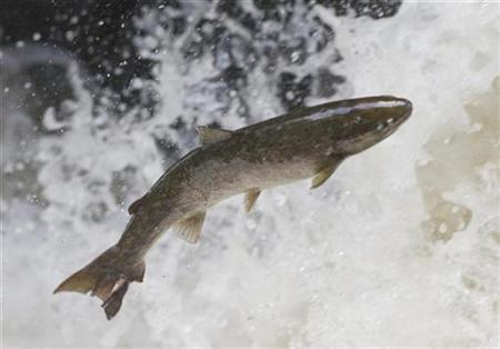 China releases 2 mln salmon fry into border river