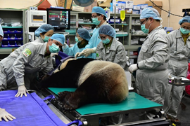 Giant panda may be mother again after insemination