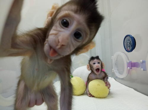 No plan to clone humans after macaque success: Chinese scientist
