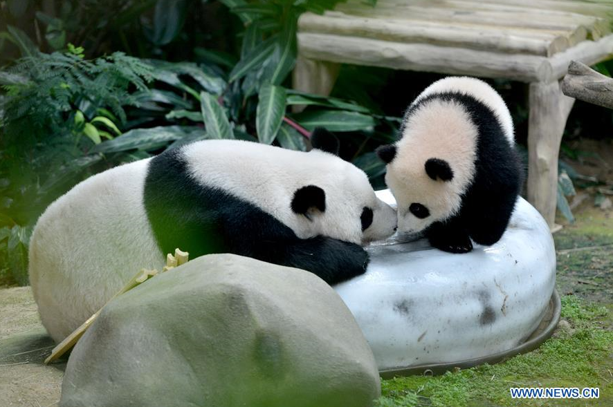 Panda black eye patches turn white at Southwest China breeding base