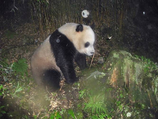 Video: What do pandas do in the wild?