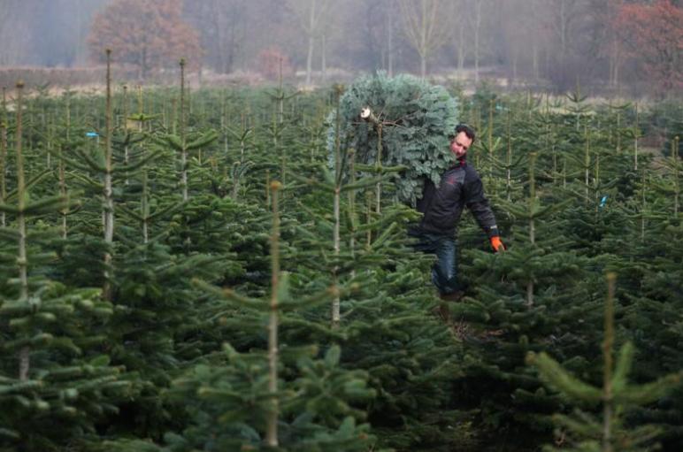 Non-drop shop: Christmas tree farmer prepares for seasonal rush