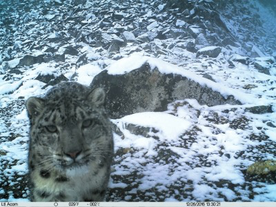 China's largest-ever survey on snow leopards near completion