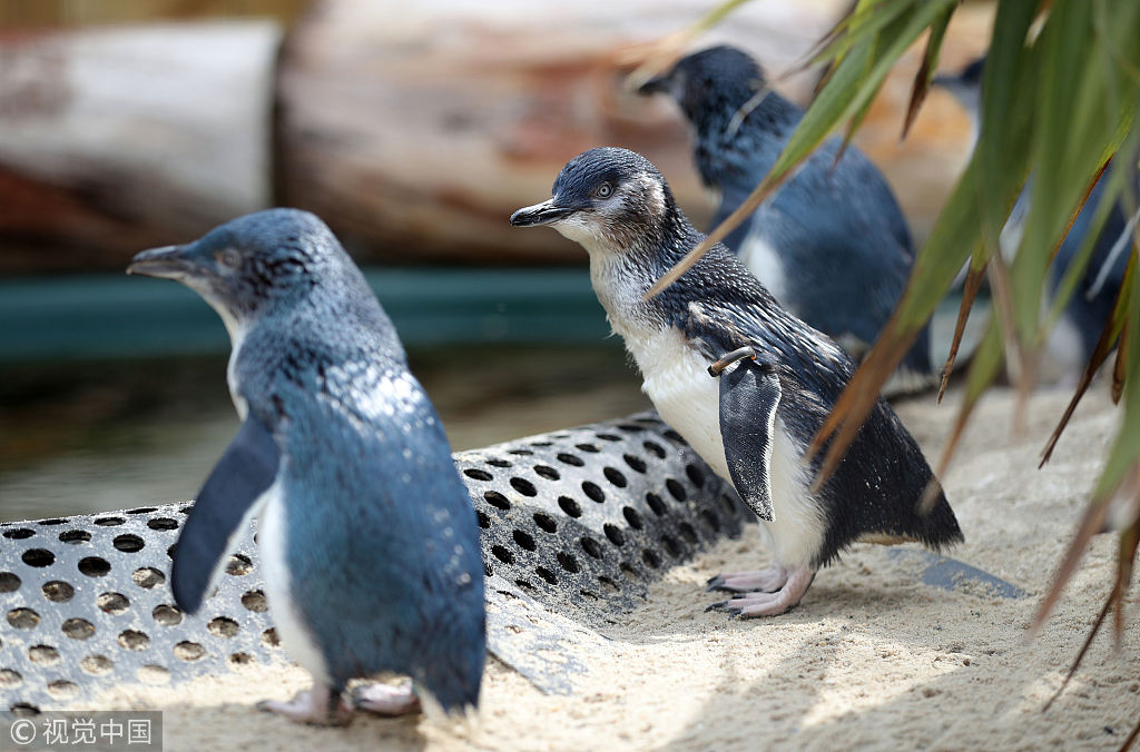 Fairy penguins in Europe to meet the public