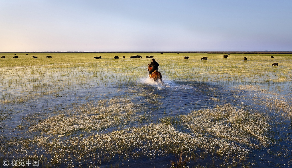 Cowboy rides horse through water covered in a beautiful blanket of flowers