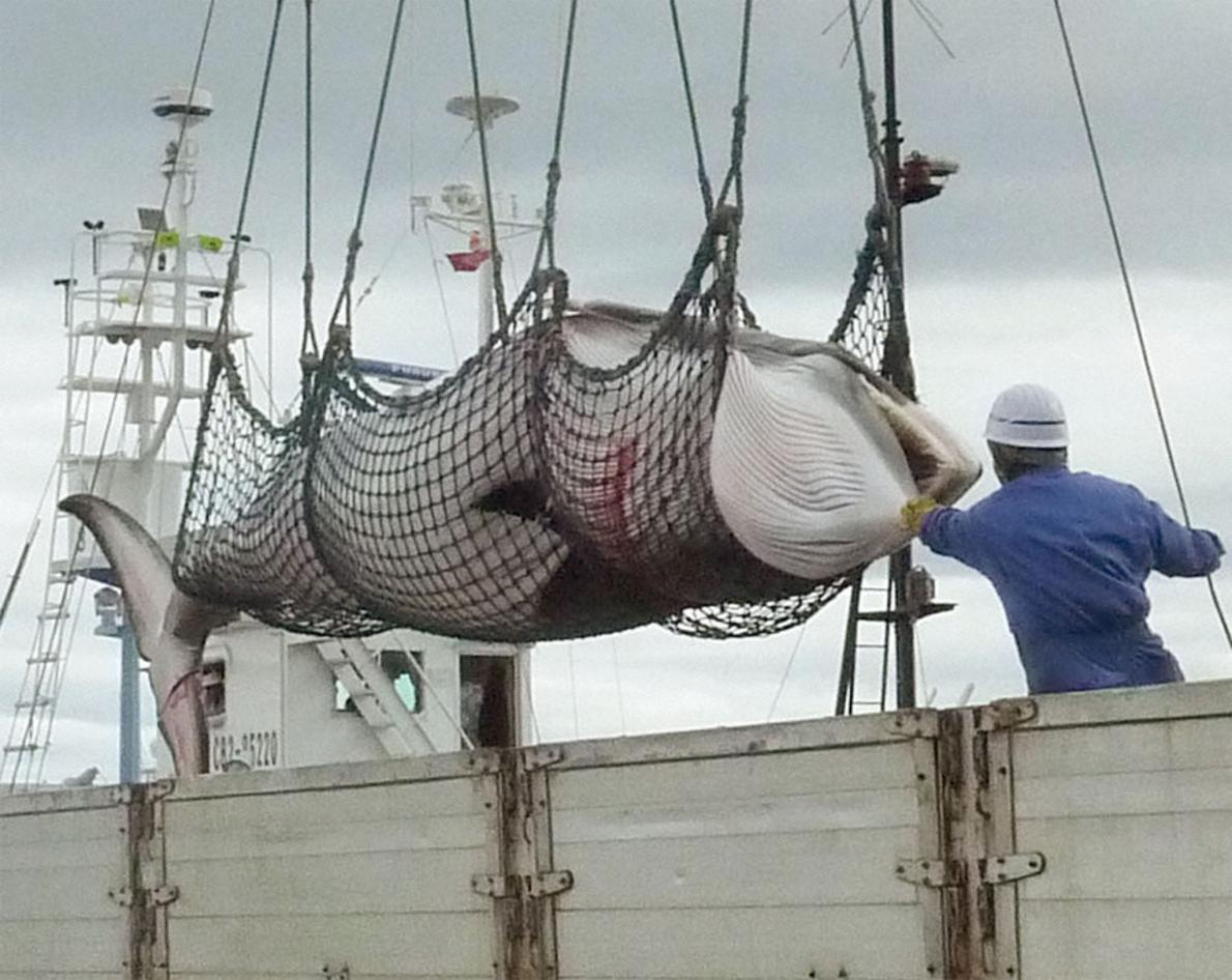 Japan whale hunt killed 122 pregnant minkes