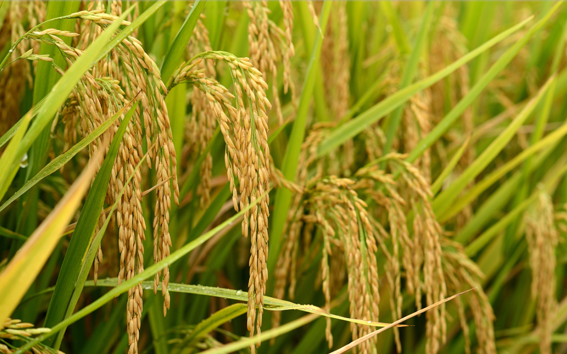 Yuan Longping's team to conduct full-scale seawater rice planting tests