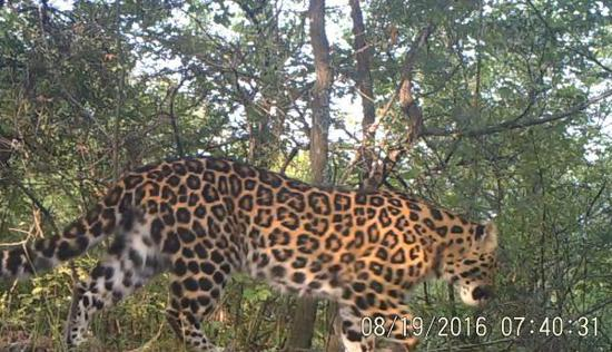 Researchers discover large number of wild North Chinese leopards