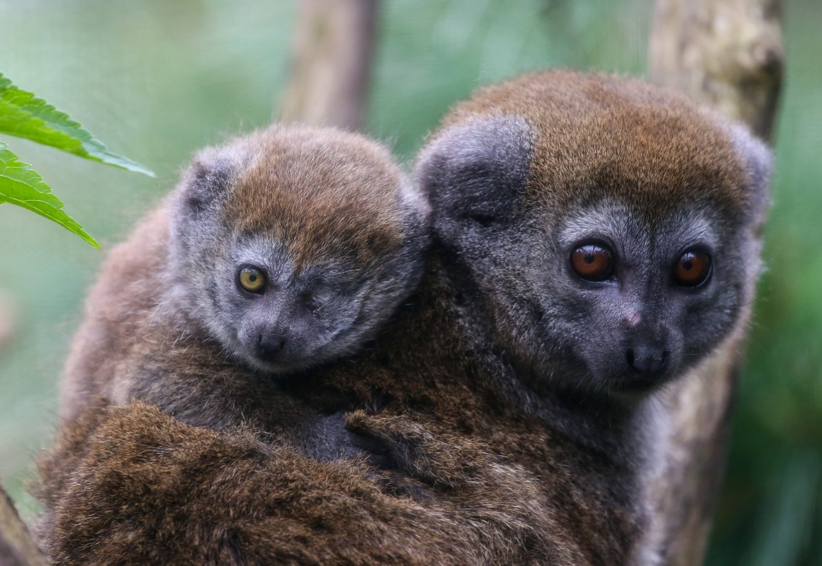 One-eyed baby lemur clings to mom for security