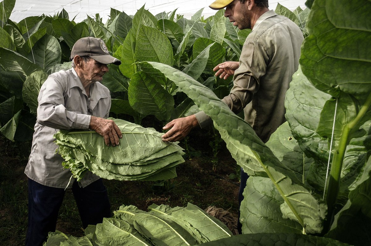 Cuban cigars to reach production plan despite heavy rains