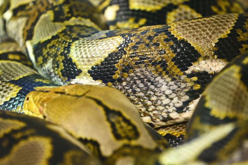 蟒蛇印尼.jpg