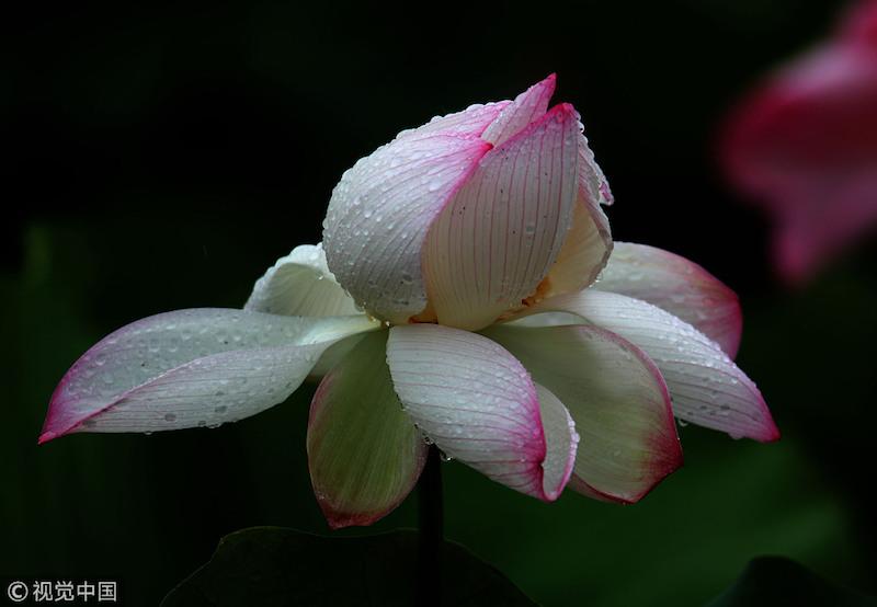 Lotus flowers bloom in China