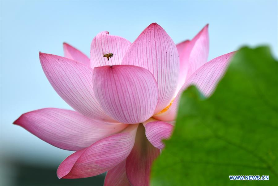 Lotus flowers pictured across China
