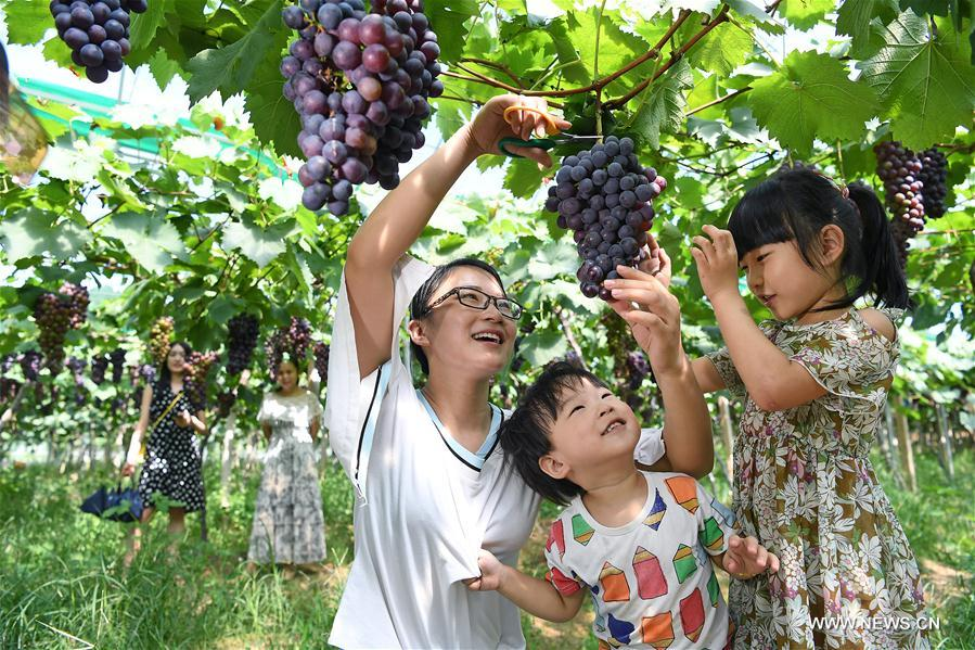 Grapes harvested in Luoting Town, China's Jiangxi