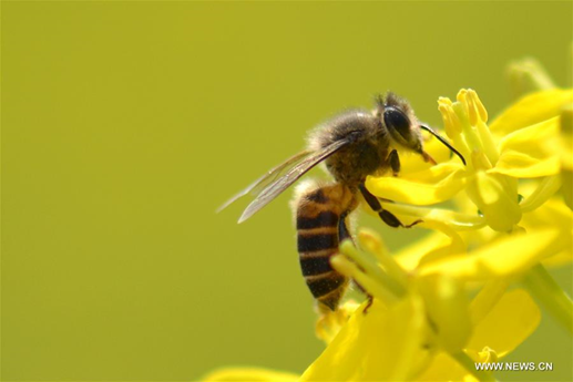 Chinese researchers find queen bees have exceptional memory, learning abilities