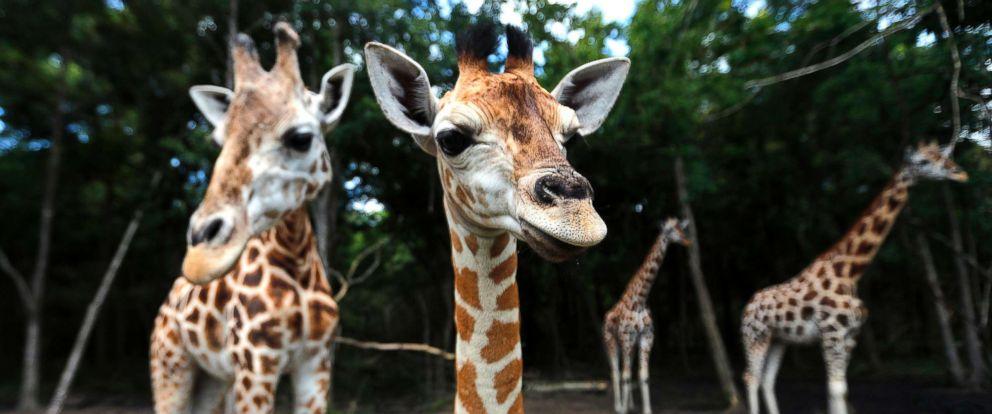 It's a girl,girl,boy,girl...! Baby boom at 2-zoo partnership