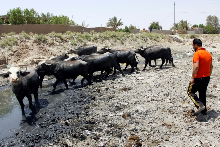 Iraqi farmers fight to save cattle from drought