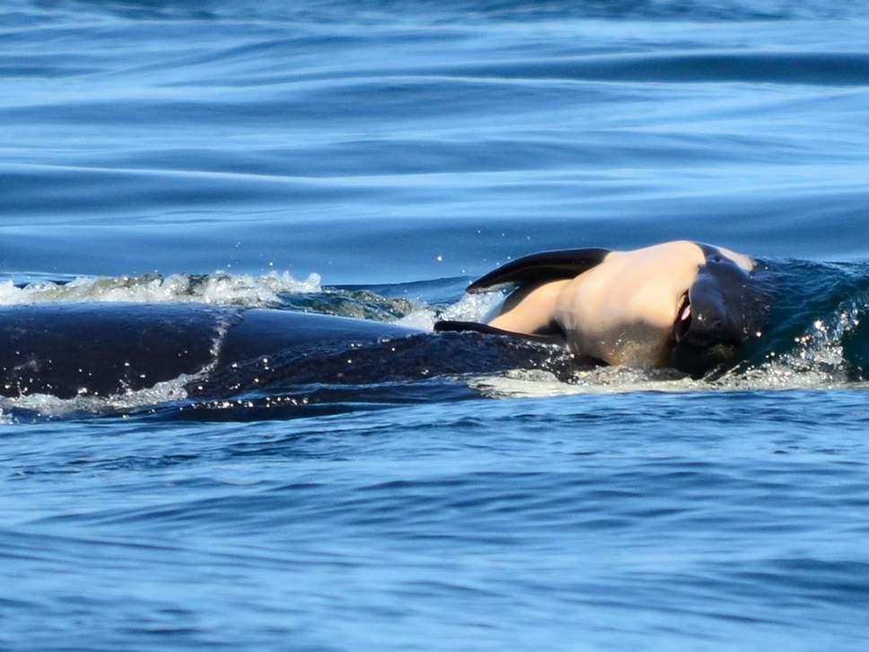 killer whale 3.jpg