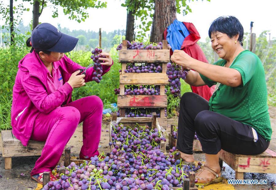Farmers harvest grapes in Bingjiao Village, N China's Hebei