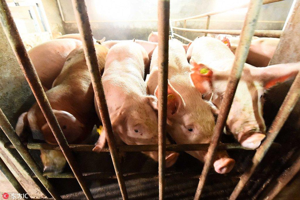 pig African swine fever.jpg