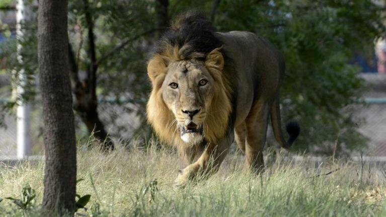 亚洲狮.jpg