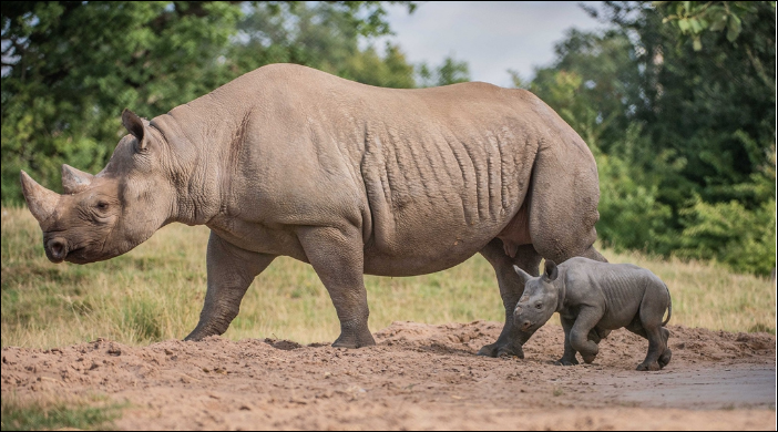 Chinese ban crashes rhino horn price, corruption fuels poaching in SA