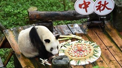 Giant panda tastes specially-made mooncake at Chongqing Zoo