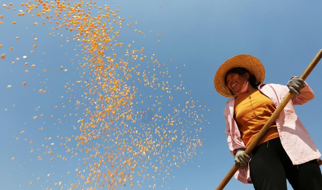 In pics: autumn harvest in China's Shandong