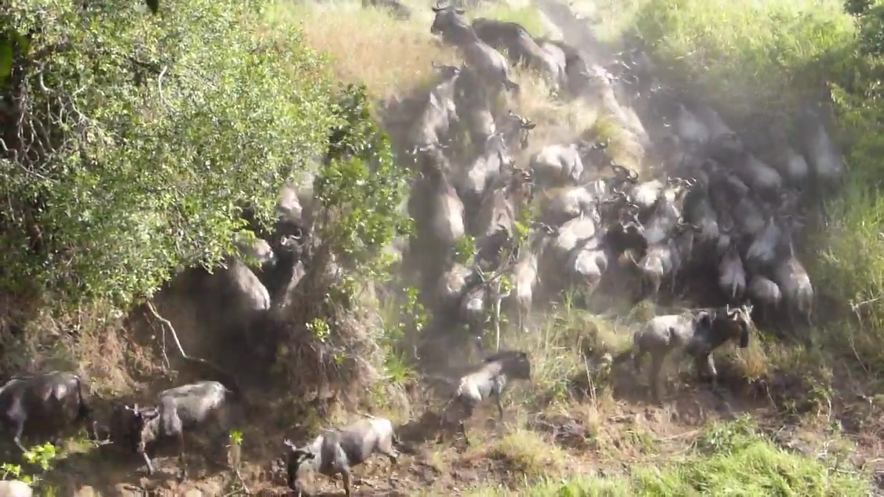 Video: Wildebeest crossed the river behind tourists' tent