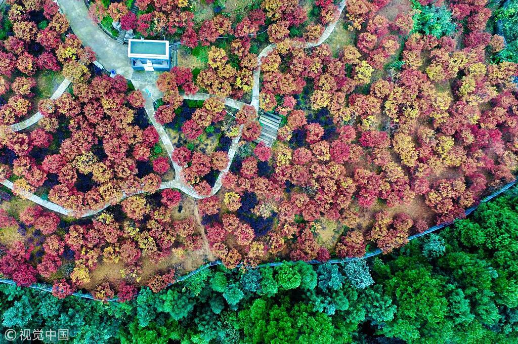 Red maples blaze to life in Chongqing