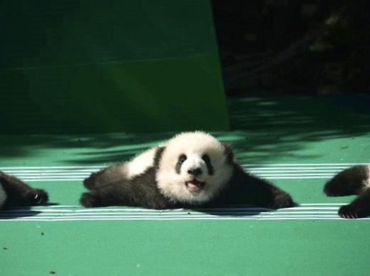 12 panda babies make public debut in Chengdu