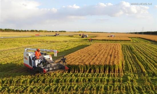 Machines help Xinjiang farmers harvest chili faster