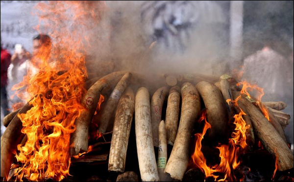 Myanmar burns confiscated elephant ivory, wildlife parts to combat illegal trade
