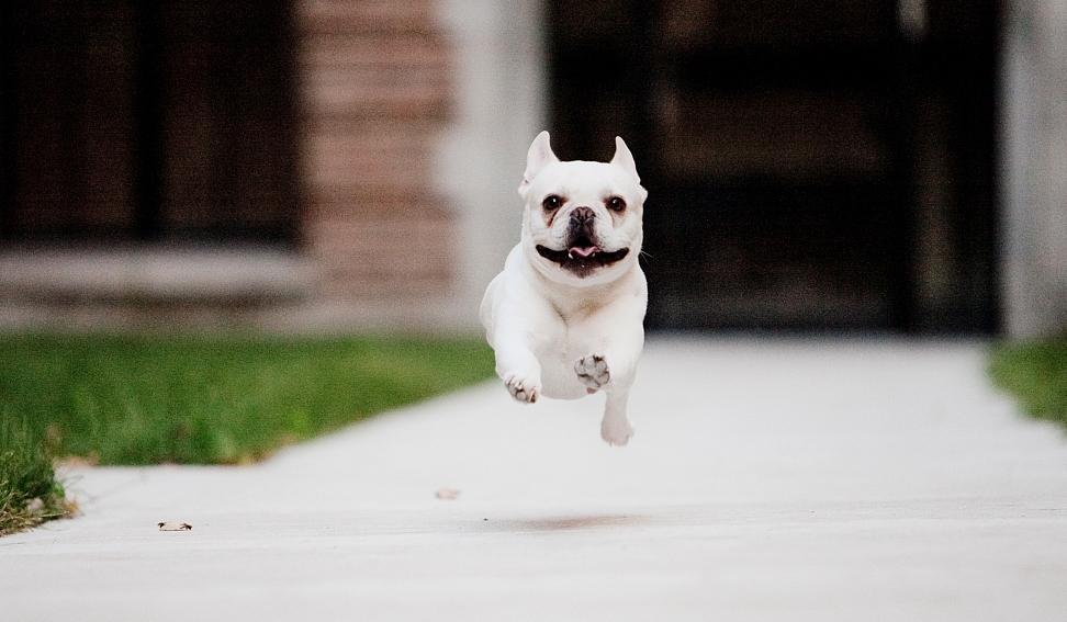 French bulldog Hungarians' favorite: breeders' association