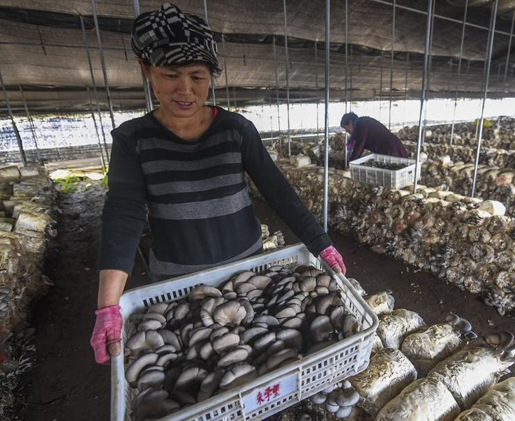 Picking mushrooms helps village escape poverty