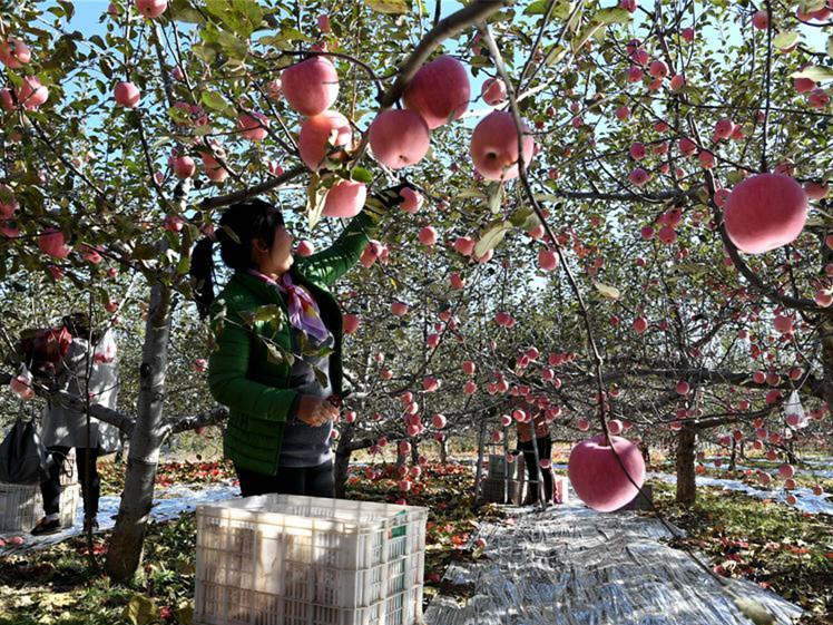 Jixian County promotes apple planting to help farmers increase income